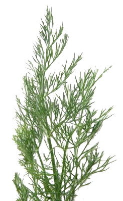 268437-fronds-of-dill-weed